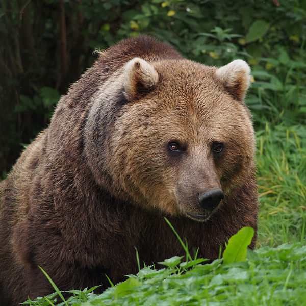 600px-European_Brown_Bear