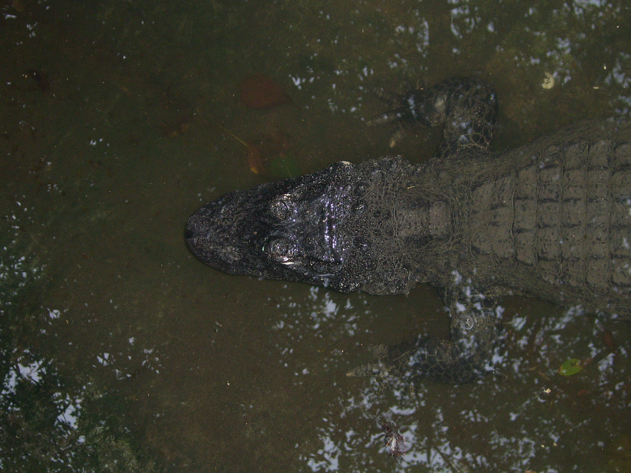 Alligator_sinensis-hangzhou